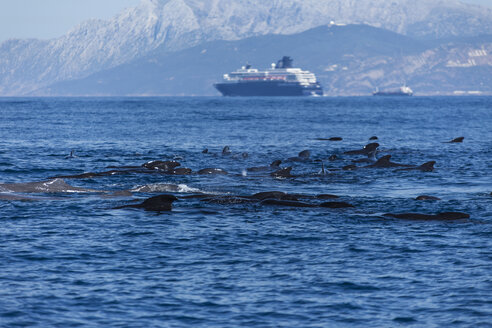 Spain, Andalusia, Tarifa, Long-finned pilot whales (Globicephala melas) and  sperm whales (Physeter macrocephalus) in the Strait of Gibraltar - KBF000035