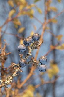 Germany, Nennslingen, Sloes in tree - SRSF000398