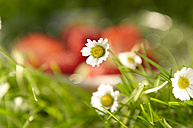 Daisies, close up - SRSF000387