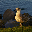 Netherlands, Renesse, European herring gull - MHF000232