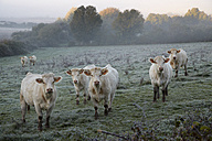 France, Burgundy, Charolais cattle on pasture near Nevers - DHL000180