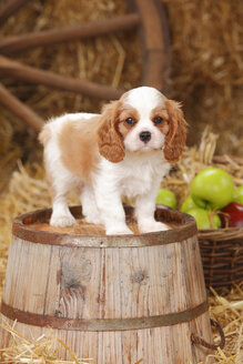 Cavalier King Charles spaniel puppy standing on a tub - HTF000141