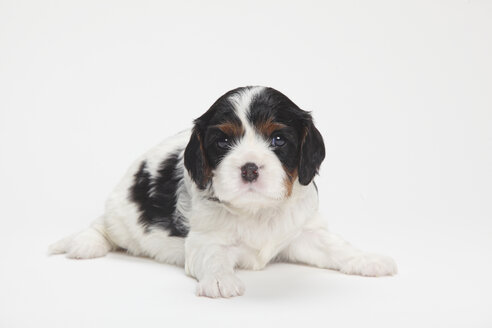 Cavalier King Charles spaniel puppy lying in front of white background - HTF000175