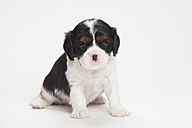 Cavalier King Charles spaniel puppy sitting in front of white background - HTF000148
