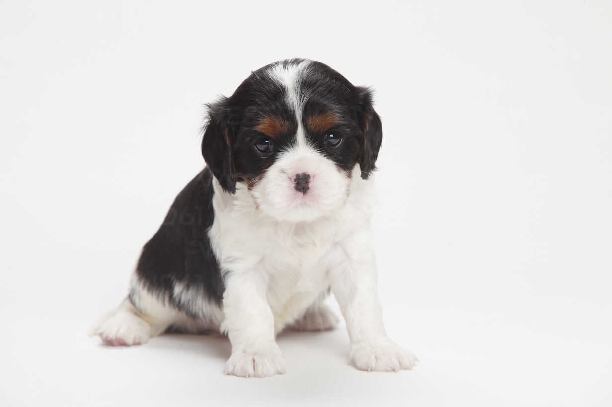 Cavalier King Charles Spaniel Puppy Sitting In Front Of White Background Htf000148 Peewee Westend61