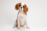 Cavalier King Charles spaniel puppy sitting in front of white background - HTF000150