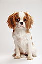 Cavalier King Charles spaniel puppy sitting in front of white background - HTF000151
