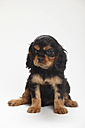 Cavalier King Charles spaniel puppy sitting in front of white background - HTF000178