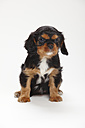 Cavalier King Charles spaniel puppy sitting in front of white background - HTF000180