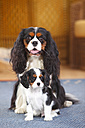 Cavalier King Charles spaniel with puppy on a carpet - HTF000158