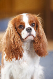 Portrait of Cavalier King Charles spaniel - HTF000181