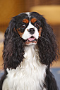 Portrait of Cavalier King Charles spaniel - HTF000163