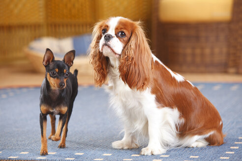 Prague Ratter and Cavalier King Charles Spaniel on carpet - HTF000165