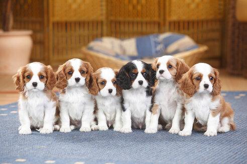 Six Cavalier King Charles spaniel puppies sitting on a carpet - HTF000166