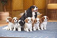Cavalier King Charles spaniel with six puppies sitting on a carpet - HTF000168