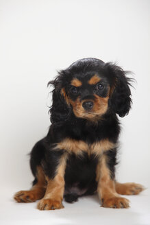 Cavalier King Charles spaniel puppy sitting in front of white background - HTF000182