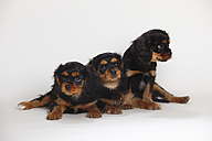 Three Cavalier King Charles spaniel puppies in front of white background - HTF000191