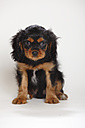 Cavalier King Charles spaniel puppy sitting in front of white background - HTF000186