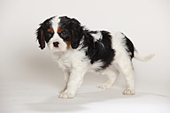 Cavalier King Charles spaniel puppy standing in front of white background - HTF000188