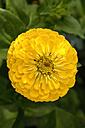 Yellow dahlia - AX000516