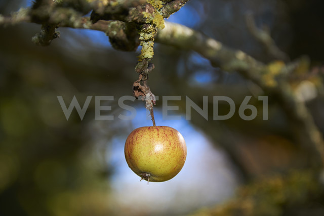 Germany, Franconia, Nennslingen, apple - SRSF000401