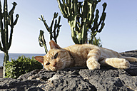 Spain, Lanzarote, Ginger cat lying on rock - JAT000441