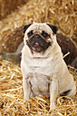 Pug sitting at hay - HTF000199
