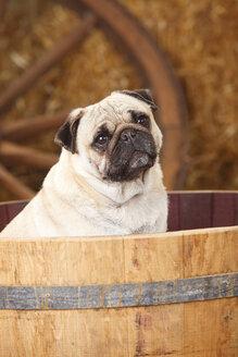 Pug sitting in a tub - HTF000198