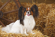 Papillon sitting on bale of straw - HTF000216