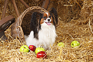 Papillon sitting at hay - HTF000213