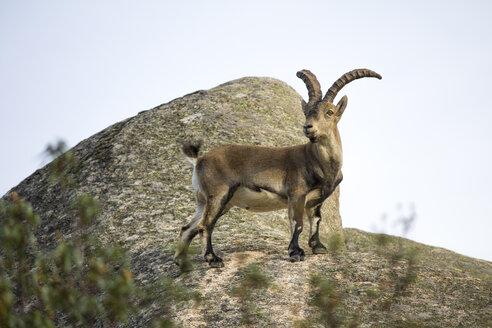 Spain, Madrid, La Pedriza, Spanish wild goat, capra pyrenaica - AMCF000002