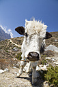 Nepal, Everest Base Camp Trek, Young yak looking at camera - MBEF000990