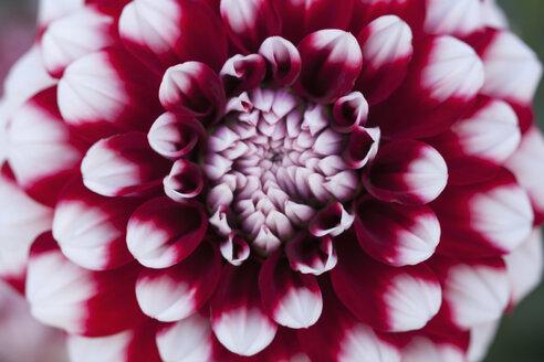 Dahlia hybrid Checkers (Asteraceae) - TCF003680