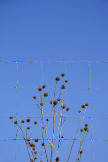 Wire fence in front of withered teasel (dipsacus) and blue sky - AXF000584
