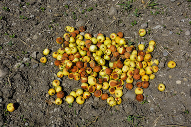 Pile of rotting apples on ground - AXF000582