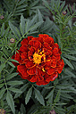 Blossom of red marigold (tagetes erecta) - AX000558