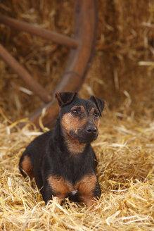 German Hunting Terrier lying at hay - HTF000232