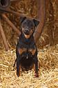 German Hunting Terrier sitting at hay - HTF000239
