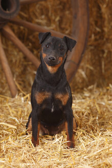German Hunting Terrier sitting at hay - HTF000239