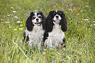 Two Cavalier King Charles spaniels sitting in a meadow - HTF000242