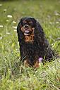 Cavalier King Charles spaniel sitting in a meadow - HTF000243
