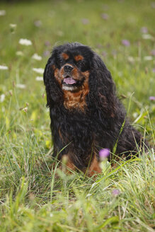 Cavalier King Charles spaniel sitting in a meadow - HTF000243