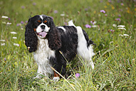 Cavalier King Charles spaniel standing in a meadow - HTF000245
