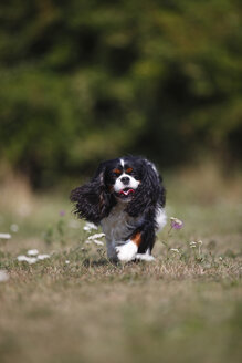 Cavalier King Charles spaniel running in a meadow - HTF000254