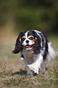 Cavalier King Charles spaniel running in a meadow - HTF000255