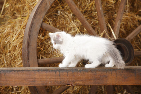 British Longhair, kitten, standing on a wooden slat in a barn - HTF000225