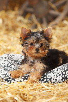 Yorkshire Terrier, puppy, lying on a cushion at hay - HTF000267