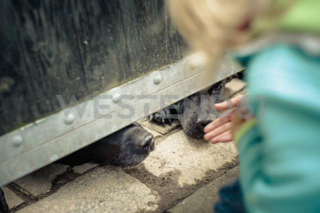 Little boy looking at snouts of two watchdogs - MJ000412
