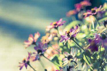 Blossoms of dahlias (Asteraceae) - MJF000409