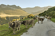 Spain, Cantabria, Picos de Europa National Park, Cows on road at Collado de Llesba - LA000312